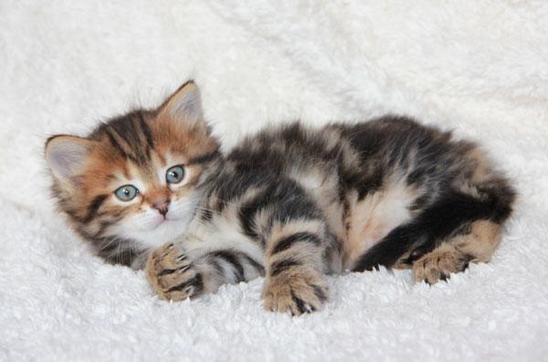 sibirisk katt till salu västerås